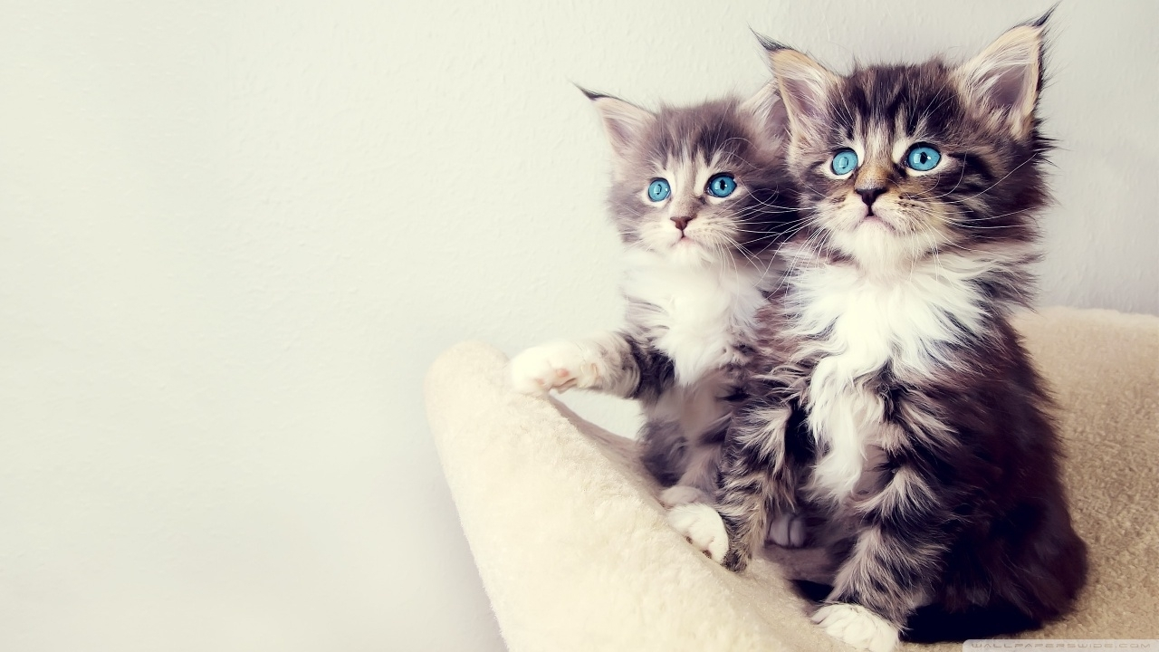 cute_kittens-wallpaper-1280x720